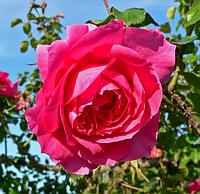 Роза Parade (Парад), корень ОКС
