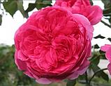 Роза Parade (Парад), корень ОКС, фото 2
