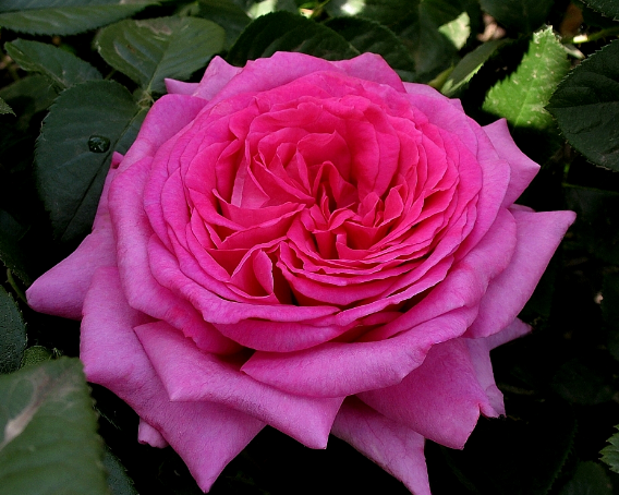 Роза Dames de chenonceau (Дамы Шенонсо), корень ОКС