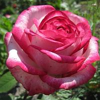 Роза Attracta (Аттракта), корень ОКС