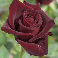 Роза Black Baccara (Блэк Баккара), корень ОКС