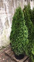 Туя западная Смарагд (Thuija occidentallis Smaragd) 120-140 cм