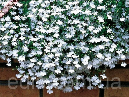 Лобелія ампельна Білий каскад 0,1 г, фото 2