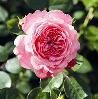 Роза Eva (Ева), корень ОКС