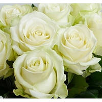 Чайно-Гибридная роза сорта Аваланж