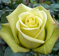 Роза Jade (Жаде), корень ОКС