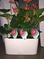 Антуриум красный в горшке лечуза, фото 1