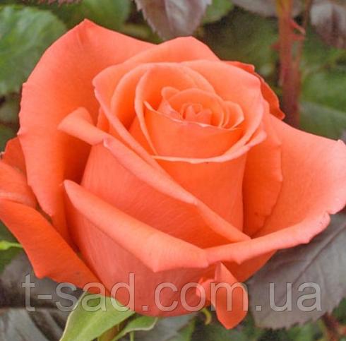 Роза Movie Star (Кинозвезда), корень ОКС