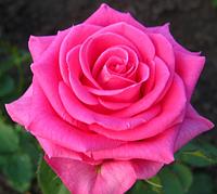 Роза Shakira (Шакира) саженцы, корень ОКС