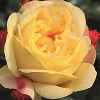 Роза Lampion (Лампион), корень ОКС