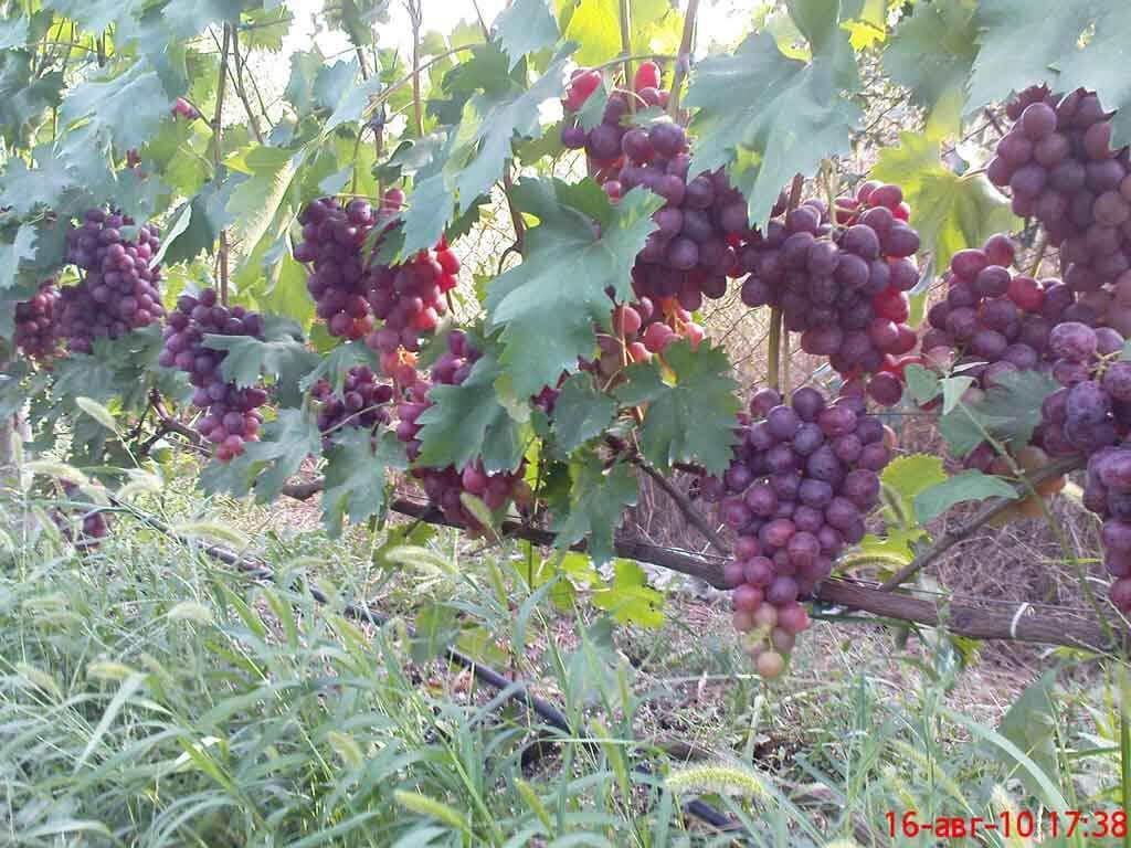 Саджанці винограду Нізіна