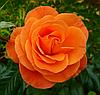 Роза Super Trouper (Супер Трупер), корень ОКС