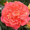 Роза Gebruder Grimm (Братья Гримм), корень ОКС