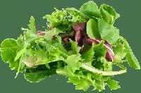 Насіння салату, зелені, пряних трав