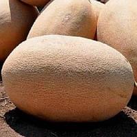 Семена дыни Нево Ф1 5000 сем. компании Никерсон (Хазера)