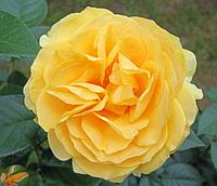 Роза Julia Child (Джулия Чайлд), корень ОКС