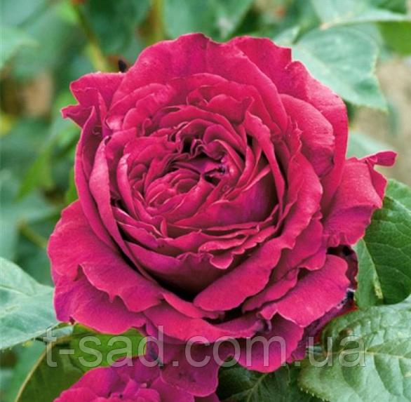 Роза Rose des 4 Vents (Троянда 4-х вітрів), саджанці, корінь ОКС