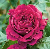 Роза Rose des 4 Vents (Роза 4-х ветров), саженцы, корень ОКС