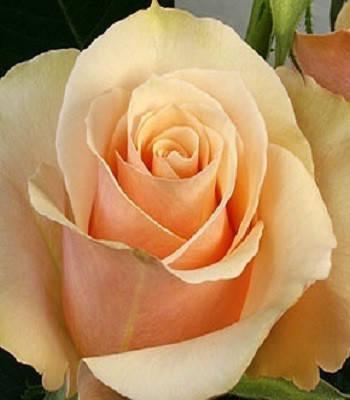 "Троянда ч/г ""Примадонна"""