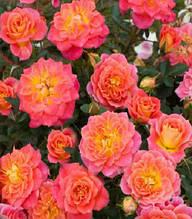 "Троянда бордюрна ""Mandarin"""