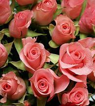 "Троянда ч/г ""Нобіліс"""