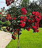 """Троянда """"H.C. Andersen"""" (Привита на штамбі)"""