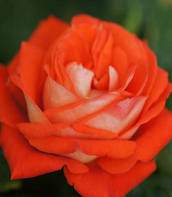 "Троянда ч/г ""Верано"""