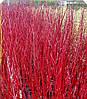Дерен червоні гілки