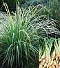 Cymbopogon citratus (Лимонна трава)