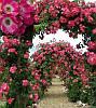 "Троянда плетиста ""American Pillar"""