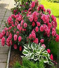 Троянда грунтопокривна рожева