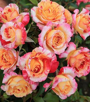 """Троянда """"Camille Pissarro"""" (Привита на штамбі)"""