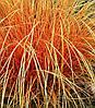 "Carex ""Bronze Perfection"""