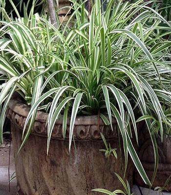 "Carex ""'Goldband"""
