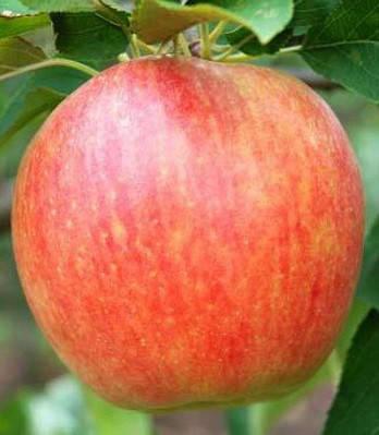 Яблуня Радогость