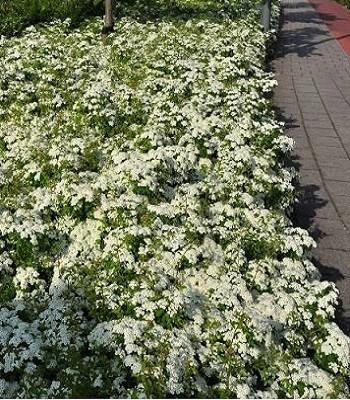Спірея бордюрна (білі щитки)