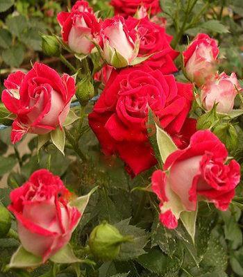 """Троянда бордюрна червоно-біла """"Dynamit Spray"""""""