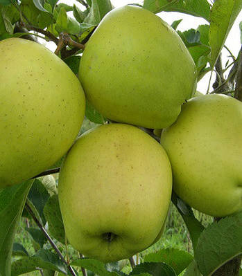 Яблуня Голден Резистент