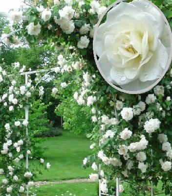 "Троянда плетиста ""Вирго"""