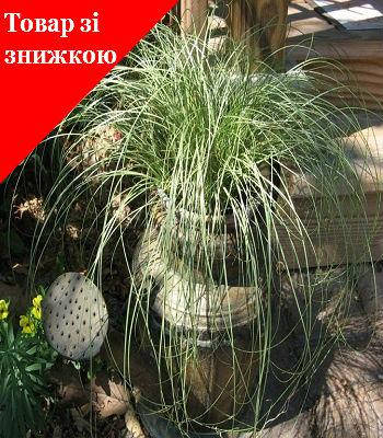 "Carex ""Amazon Mist"""