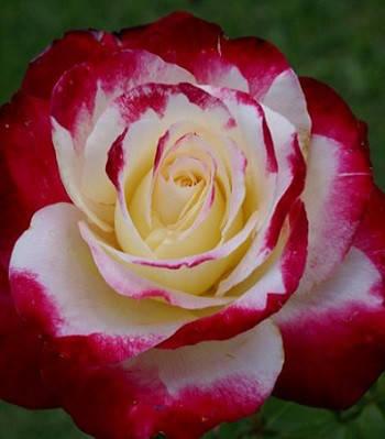 """Троянда ч/г """"Дабл Дилайн"""""""