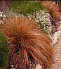 "Carex ""Milk Chocolate"""