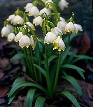 Білоцвіт весняний (5 шт)