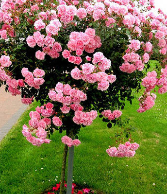 "Троянда ""Bonica"" (Привита на штамбі)"