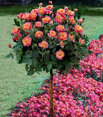 "Троянда ""Piccadilly"" (Привита на штамбі)"