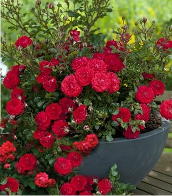 """Троянда грунтопокривна """"Dark Red"""""""