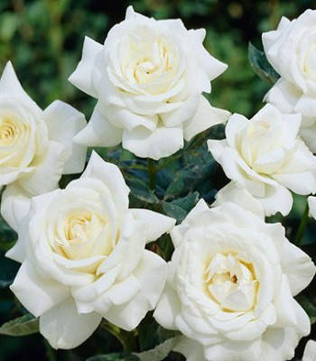 "Троянда ""Chopin"" (Привита на штамбі)"