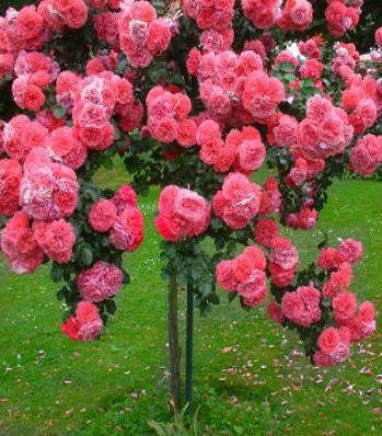 """Троянда """"Rosarium Uetersen"""" (Привита на штамбі)"""