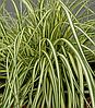 "Carex ""Maxigold"""
