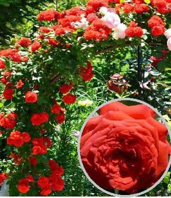 """Троянда плетиста """"Майн Тауер"""""""